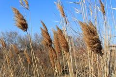 Canne di inverno di Astrachan'nel vento Fotografie Stock Libere da Diritti