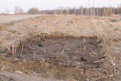 Canne di Rasberry piantate in nuova assegnazione. Fotografia Stock Libera da Diritti