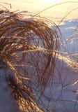 Canne e fieno congelati, concetto di inverno Fotografie Stock