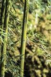 Canne en bambou verte 3 Photos libres de droits