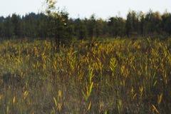 Canne, erba e gatto-code alte di una palude invasa immagine stock