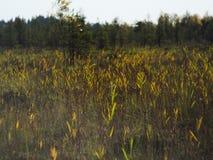 Canne, erba e gatto-code alte di una palude invasa immagini stock