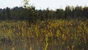 Canne, erba e gatto-code alte di una palude invasa fotografia stock