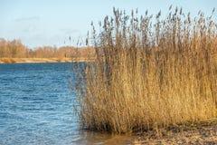 Canne ingiallite sulla banca di un fiume Fotografia Stock Libera da Diritti