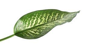 Canne muette de feuille de Dieffenbachia, feuilles de vert contenant les taches blanches et taches, feuillage tropical d'isolemen Images libres de droits