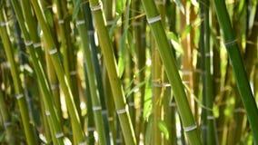 Canne naturali del bambù