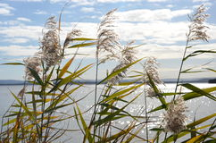 Canne nel lago Tuggerah Fotografia Stock
