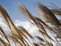 Canne nel vento Fotografie Stock