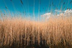 Canne nel vento, paesaggio olandese, volgermeerpolder immagini stock
