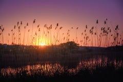 Canne nella priorità alta vicino ad un fiume al sole al tramonto Canna asciutta sul fiume nel sole Sera sulla sponda del fiume to Fotografie Stock Libere da Diritti