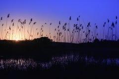Canne nella priorità alta vicino ad un fiume al sole al tramonto Canna asciutta sul fiume nel sole Sera sulla sponda del fiume to Immagine Stock Libera da Diritti