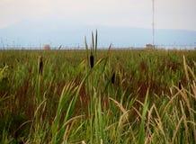 Canne (piante della regione paludosa) delle zone umide Fotografie Stock