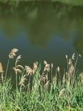 Canne près de la rivière Images libres de droits