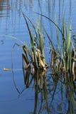 Canne riflesse in acqua blu profonda immagine stock