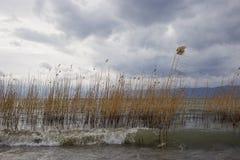 Canne sul lago Ocrida un giorno ventoso Fotografia Stock Libera da Diritti