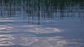 Canne sul lago silenzioso video d archivio