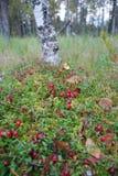 Canneberges de cueillette dans la forêt photographie stock