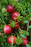 Canneberges sauvages dans la forêt Photo libre de droits