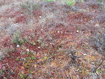Canneberges sur la mousse dans le marais Photo libre de droits