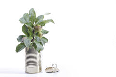 Canned Apple Tree. An apple tree grows in a tin can Royalty Free Stock Photography