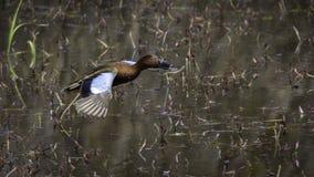 Cannella Teal Duck Fotografia Stock Libera da Diritti