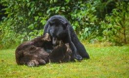 Cannelle et ours noir luttant Photo libre de droits