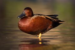 Cannelle Teal Duck Catching Evening Sun Photo stock