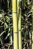 Cannes en bambou vertes Image stock