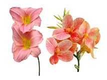 Cannes Lily flowers it is isolated. A holiday stock images