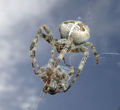 Cannibal garden spider. A cannibal garden spider with its prey, another spider Royalty Free Stock Photos