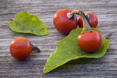 Cannibal's Tomato (Solanum uporo). Fruit and leaves of Cannibal's Tomato (Solanum uporo Stock Image