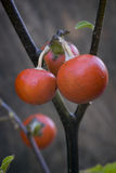 Cannibal's Tomato (Solanum uporo). Fruit and leaves of Cannibal's Tomato (Solanum uporo Stock Photos