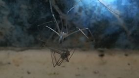 Cannibal skull spider wraping its prey, another skull spider stock footage