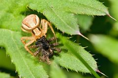 Cannibal. Spider Xysticus cristatus kind of competitive eating Royalty Free Stock Photos