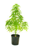 Cannibis plant Royalty Free Stock Photos