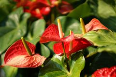 Cannifolium de Spathiphyllum Photographie stock libre de droits