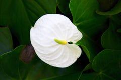 Cannifolium Dryand de Spathiphyllum Sims ex Schott Images stock