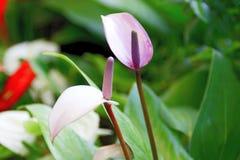Cannifolium Dryand Spathiphyllum бывшее Sims Schott Стоковые Фото
