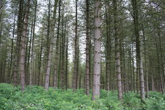 Cannock Chase. Large surrounding forest Stock Photos