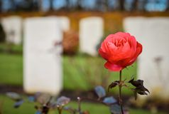 Cannock Chase War Cemetery Rose Flower. Cannock Chase War Cememtery which holds 379 recorded casualties from both world war one and two Stock Photo