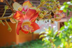 Cannon ball flower Beautiful Couroupita guianensis Aubl Stock Images