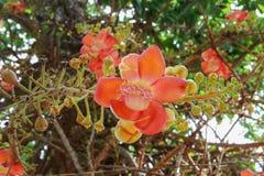 Cannon ball flower Beautiful Couroupita guianensis Aubl Stock Image