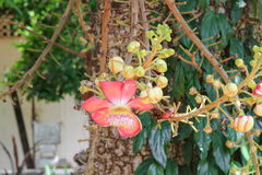 Cannon ball flower Beautiful Couroupita guianensis Aubl Royalty Free Stock Images