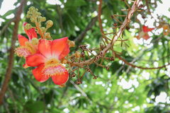 Cannon ball flower Beautiful  Couroupita guianensis Aubl Sal Tree Royalty Free Stock Photo