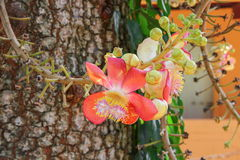 Cannon ball flower Beautiful  Couroupita guianensis Aubl Stock Photo