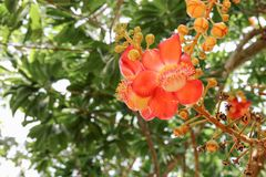 Cannon ball flower Beautiful  Couroupita guianensis Aubl Royalty Free Stock Photos