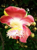 Cannon ball flower. Beautiful flower of cannon ball tree Royalty Free Stock Photo