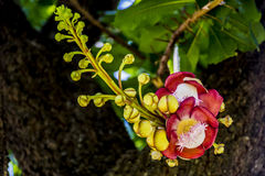 CANNON BALL FLOWER. Indian CANNON BALL FLOWER with Buds and leaves Royalty Free Stock Photo