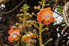 Cannon ball flower. Sal flower or shal  flower or cannon ball flower Stock Photo