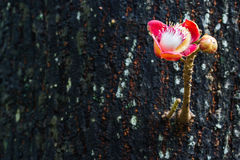 Cannon ball flower on tree background Royalty Free Stock Photo